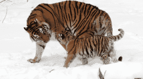 Le tigre de l'Amour, une icône de la faune russe à sauver