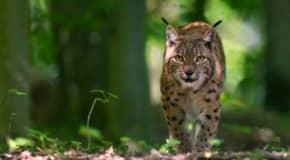 Comment protéger les grands félins menacés d'extinction ?